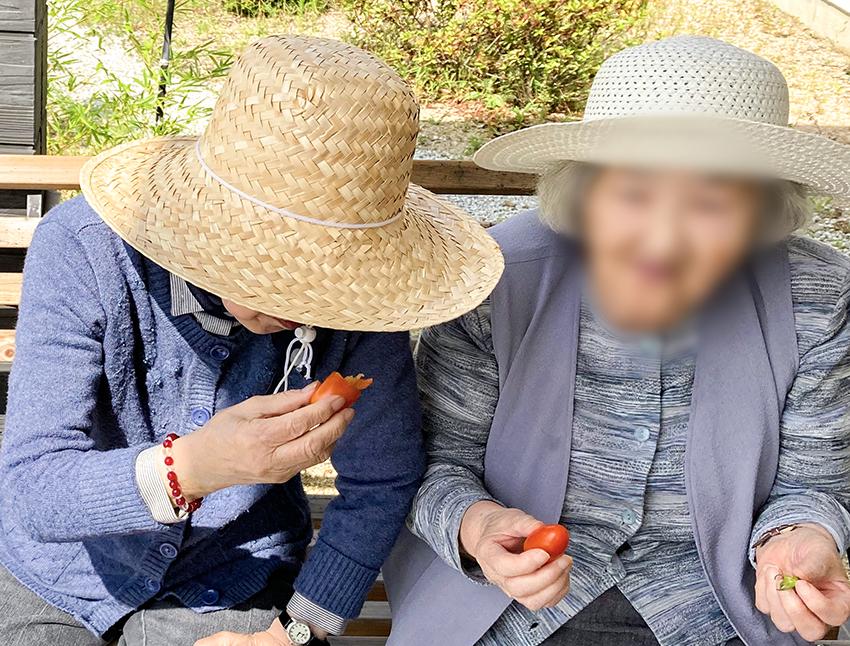 ミニトマト収穫 〜美味しく実りました〜